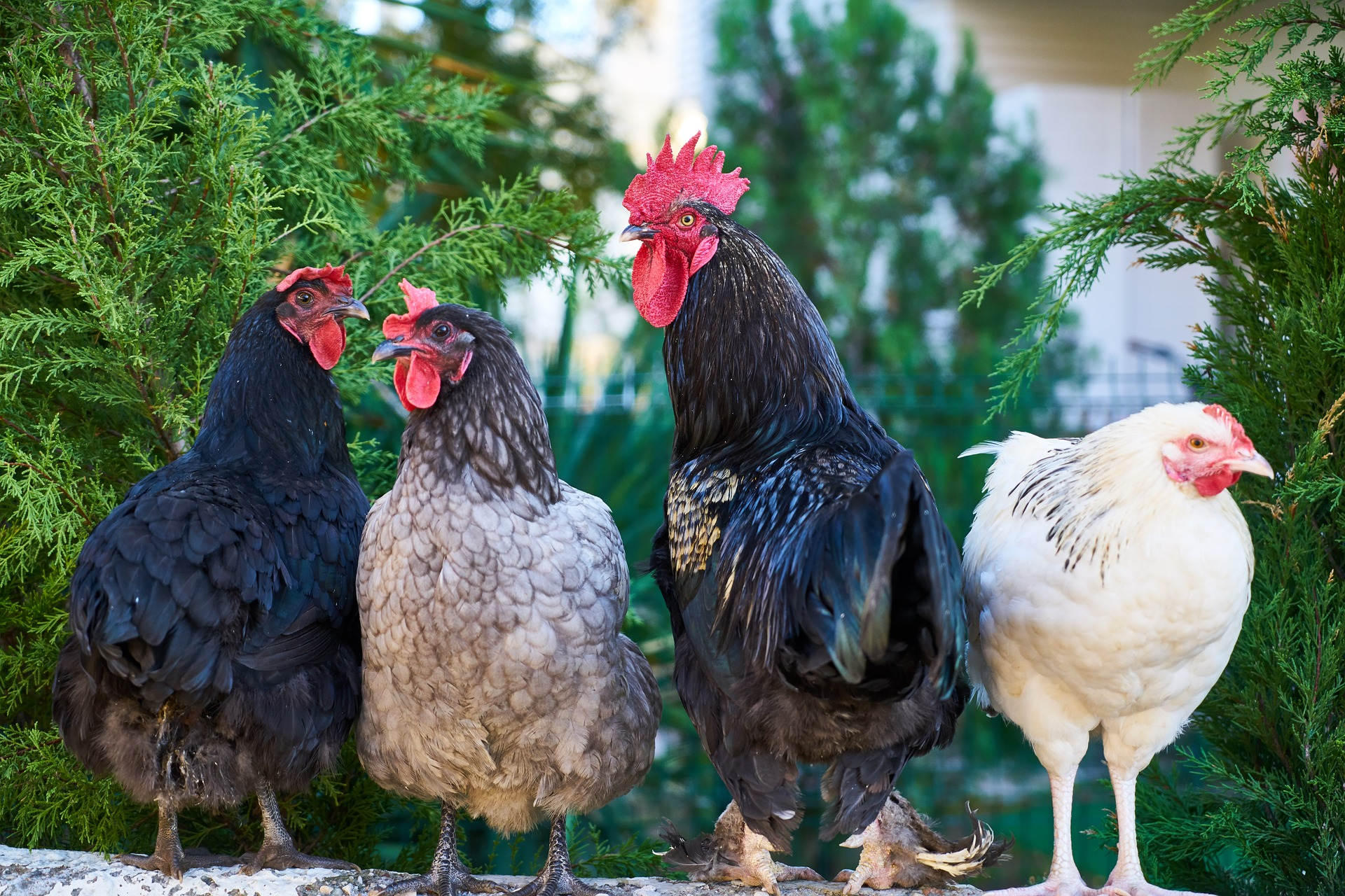 chicken-3919446_1920.jpg