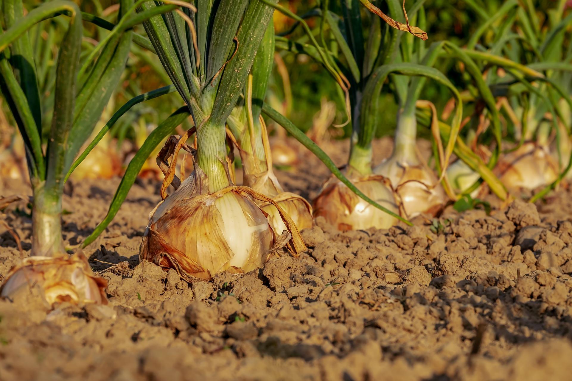 onion-3540502_1920.jpg