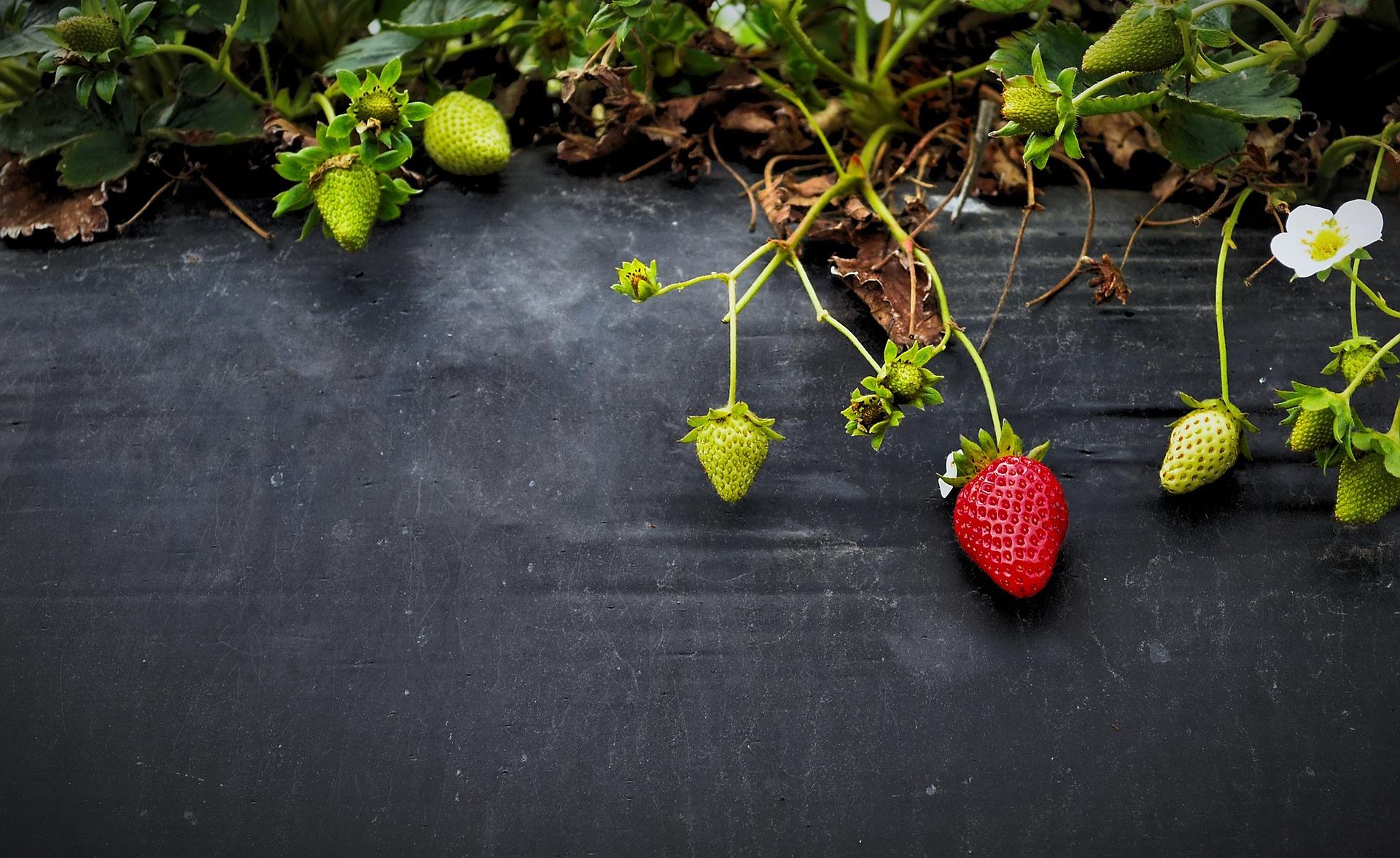 strawberries-828627_1920.jpg